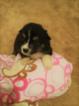 Australian Shepherd Puppy For Sale in SPRINGFIELD, Minnesota,