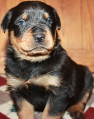 Rottweiler Puppy for sale in FINDLAY, OH, USA