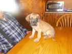 Great Dane Puppy For Sale in BLUE CREEK, OH,