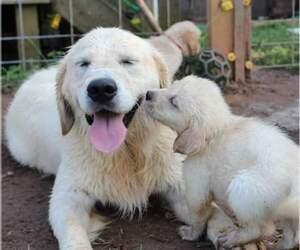 Golden Retriever Puppy for sale in ATHENS, GA, USA