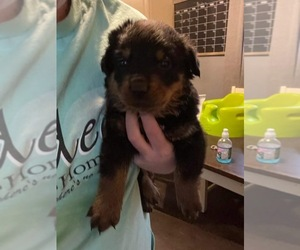 Rottweiler Puppy for sale in ARDMORE, OK, USA