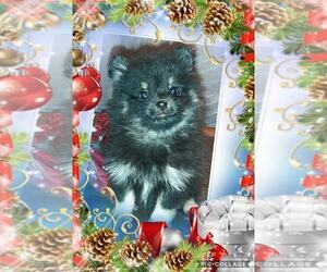 Pomeranian Puppy for Sale in CARTHAGE, Texas USA