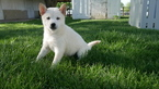Shiba Inu Puppy For Sale in KENSINGTON, OH, USA