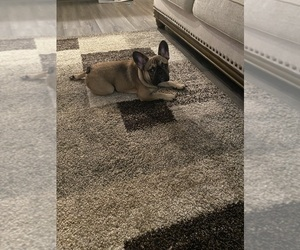 French Bulldog Puppy for sale in HICKORY HILL, TN, USA