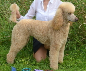 Mother of the Poodle (Standard) puppies born on 09/04/2020