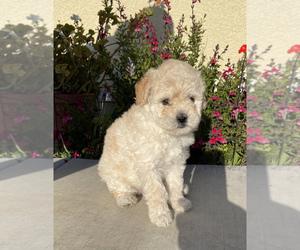 Shih-Poo Dog for Adoption in SAN JOSE, California USA