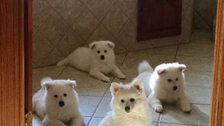 American Eskimo Dog Puppy For Sale in CANNON FALLS, MN