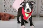 Jingle Male Boston Terrier