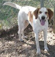 Fred - Hound Dog For Adoption