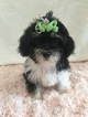 Yorkie-Poo Puppy For Sale in HAMPSHIRE, IL