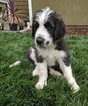 Saint Berdoodle Puppy For Sale in BATTLE GROUND, WA, USA