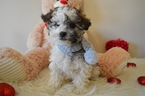 Maltipoo Puppy For Sale in HONEY BROOK, PA, USA