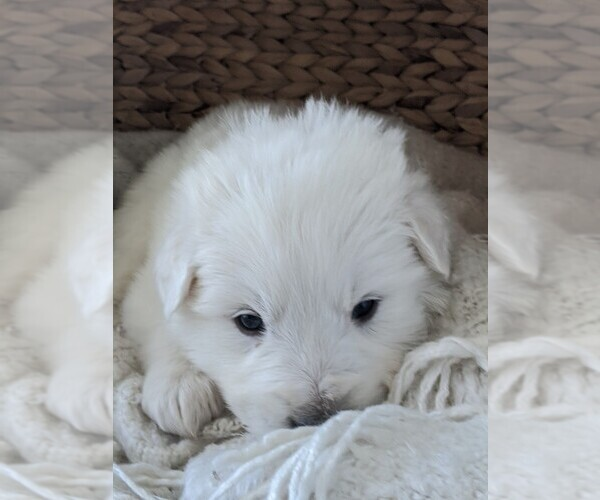 Medium Photo #44 Great Pyrenees Puppy For Sale in FALCON, CO, USA