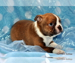 Small #2 Boston Terrier