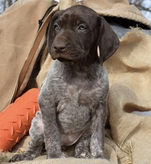 German Shorthaired Pointer Puppy for sale in LULA, GA, USA