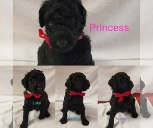 Poodle (Standard) Puppy for sale in LAND O LAKES, FL, USA