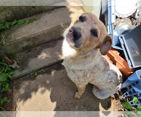Medium Photo #1 Australian Cattle Dog Puppy For Sale in TOWNSEND, DE, USA