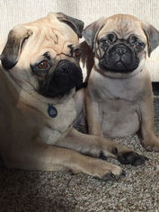 Pug Puppy For Sale in FENWICK, MI, USA