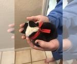 Small #11 Pembroke Welsh Corgi