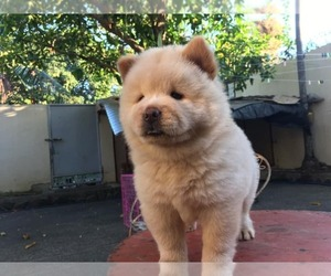 Chow Chow Puppy for sale in EL CENTRO, CA, USA
