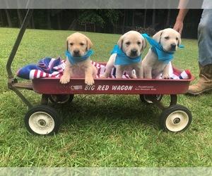 Labrador Retriever Puppy for sale in HEATH SPRINGS, SC, USA