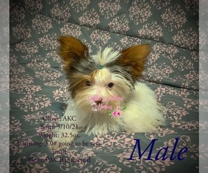 Yorkshire Terrier Puppy for sale in ROCKWOOD, TN, USA