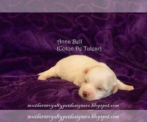 Coton de Tulear Puppy for sale in LEBANON, TN, USA
