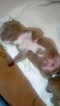 Mutt Puppy For Sale in SAN ANTONIO, TX, USA