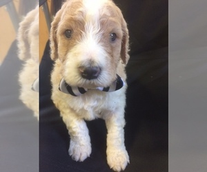 Double Doodle Puppy for Sale in KALISPELL, Montana USA