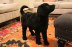 Labradoodle Puppy For Sale in HOUSTON, Texas,
