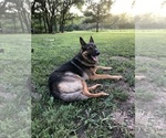 Small Photo #1 German Shepherd Dog Puppy For Sale in GARLAND, KS, USA