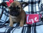 Beabull-French Bulldog Mix Puppy For Sale in CEDAR LANE, PA, USA