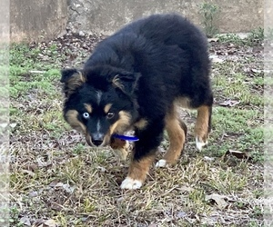 Miniature Australian Shepherd Dog for Adoption in GRANBURY, Texas USA