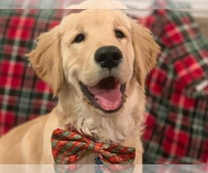 Golden Retriever Puppy for Sale in CLEVELAND, Texas USA