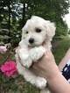 Maltese-Poodle (Toy) Mix Puppy For Sale in TOANO, VA
