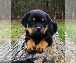Small #16 Rottweiler