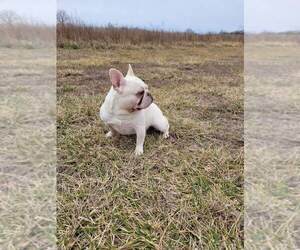 French Bulldog Puppy for Sale in WEST PLAINS, Missouri USA