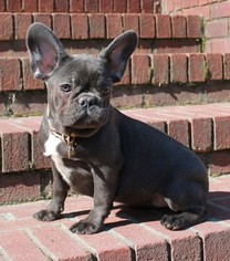 French Bulldog Puppy For Sale in WAYCROSS, GA, USA