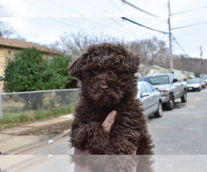 Poodle (Miniature) Puppy for sale in RIVERDALE, MD, USA