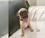 Pug Puppy For Sale in TUCSON, AZ, USA