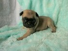 Pug Puppy For Sale in CATLETT, VA, USA