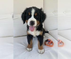 View Ad Bernese Mountain Dog Puppy For Sale Near Ohio Enon