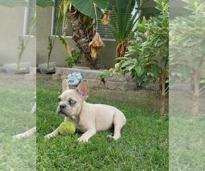 French Bulldog Puppy for Sale in FRESNO, California USA