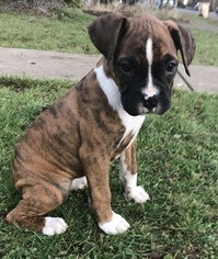 Boxer Puppy For Sale in ALBANY, OR, USA