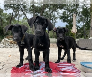 German Shepherd Dog-Great Dane Mix Puppy for Sale in SARASOTA, Florida USA