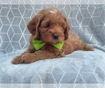 Small #1 Cocker Spaniel-Poodle (Miniature) Mix