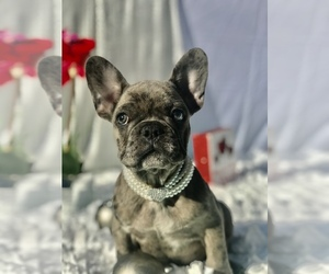 French Bulldog Puppy for sale in CRANSTON, RI, USA