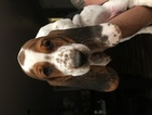 Basset Hound Puppy For Sale in STRATFORD, CT