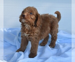 Labradoodle Dog for Adoption in MILLERSBURG, Ohio USA