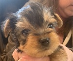 Small #22 Yorkshire Terrier